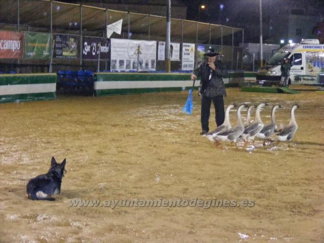 Una Pará en Gines 2013 presenta una llamativa exhibición de manejo de ganado con perros de pastor