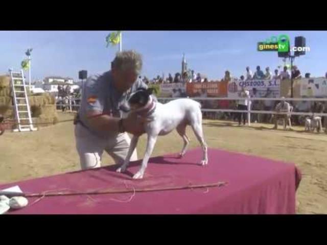 I Concurso-Exhibición de Perro Ratonero Bodeguero Andaluz